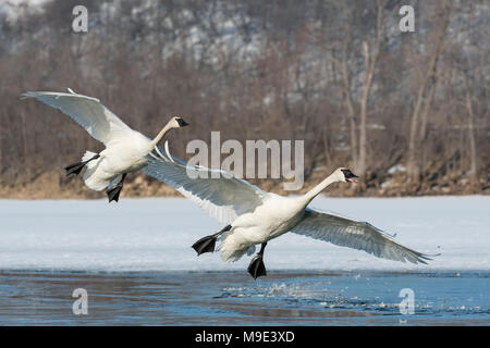 Trumpeter swans (Cygnus buccinator) landing on the St. Croix river, WI, USA, mid-March, by Dominique Braud/Dembinsky Photo Assoc - Stock Photo