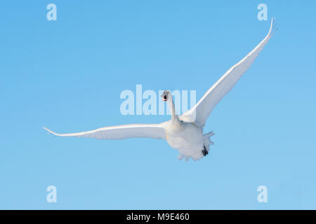 Trumpeter swan (Cygnus buccinator) in flight over the St. Croix river.  Hudson, Wisconsin. Late February, by Dominique Braud/Dembinsky Photo Assoc - Stock Photo