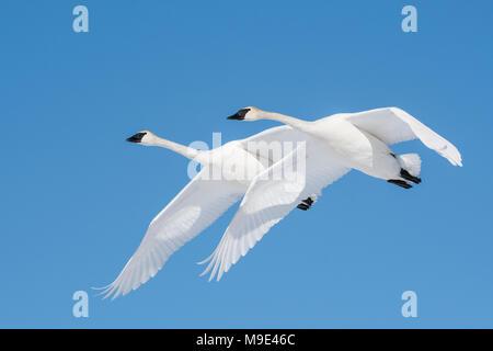 Trumpeter swans (Cygnus buccinator) flying, North America, USA, by Dominique Braud/Dembinsky Photo Assoc - Stock Photo