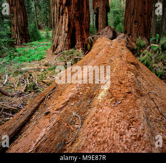 Downed Sequoia, Sequoiadendron giganteum, Redwood Canyon, Kings Canyon National Park, California - Stock Photo