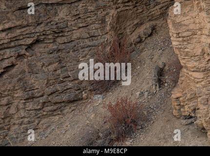 Wild Snow Leopard walking on rocks of Himalayas - Stock Photo