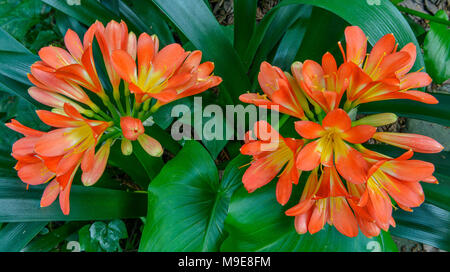 Clivia, Amaryllidaceae, Kaffir Lily, Cypress Garden, Mill Valley, California - Stock Photo