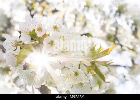 White cherry blossoms in spring sun with sunbeams and soft bokeh - Stock Photo