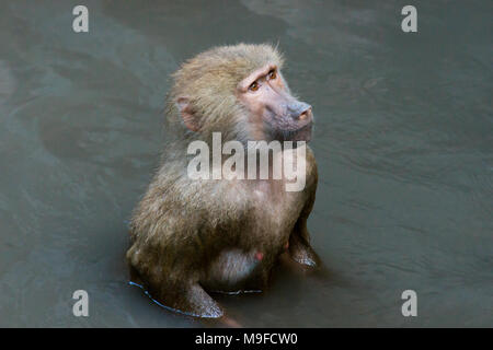 The hamadryas baboon bathes in the river - Stock Photo