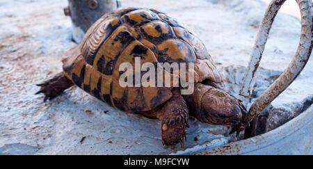 Big leopard tortoise. Leopard Tortoise Stigmochelys pardalis walking and looking for food - Stock Photo