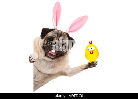 funny easter pug dog with rabbit teeth, whiskers and ears holding up chicken, isolated on white background - Stock Photo