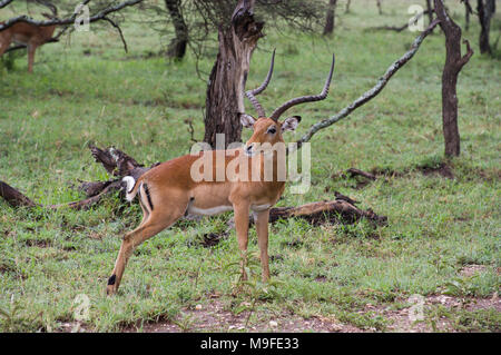 Thompson's gazelle or Gran't gazelle on the savannah in the Serengeit, Tanzania, with long curved horns and trees in the background - Stock Photo