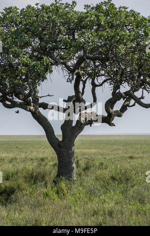 Lone leopard in an acacia tree surveying the landscape in the Serengeti, Arusha, Northern Tanzania, Africa - Stock Photo