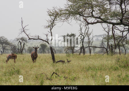 a small herd of topi - damaliscus lunatus jimela - grazing in long grass against a misty landscape with acacia trees one alpha male - Stock Photo