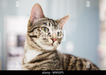 Young striped tabby cat close up portrait as it sits indoors looking to the side watching something intently over a high key background - Stock Photo