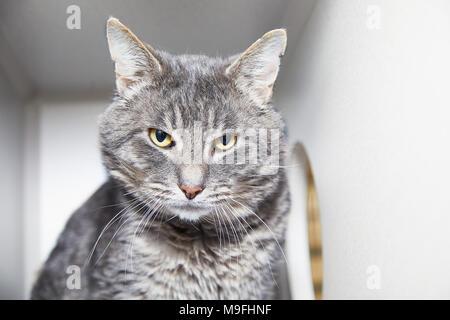 Portrait of domestic gray tabby cat sitting in cat condo