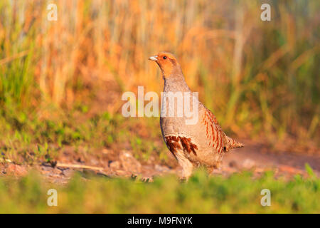 Gray partridge is on spring path - Stock Photo