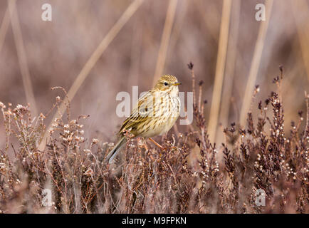 Colour photograph of Meadow Pipit perched upon Heather on Canford heath nature reserve - Stock Photo