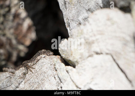 Lizard Breath brown black and grey lizard sunbathing on a tree with a hollow black hole - Stock Photo