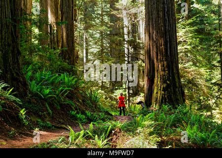 41,425.01762 woman in red hiking trail through forest of giant old growth towering redwood trees, with many green ferns, Jedediah Smith State Park, CA - Stock Photo