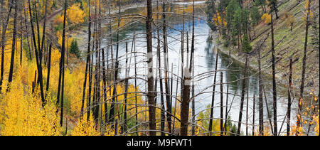 42,652.07313 panorama North Thompson River, burned trees from 13 years after old Barriere, BC, forest fire, yellow fall leaves from slight new brush - Stock Photo