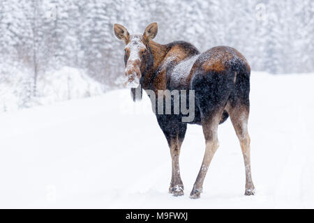 42,744.07791 North American adult cow moose (Alces alces) standing on a snow covered road in a conifer forest looking at you - Stock Photo