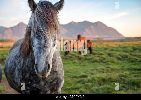 Close portrait of wild icelandic pony in a late evening light. - Stock Photo