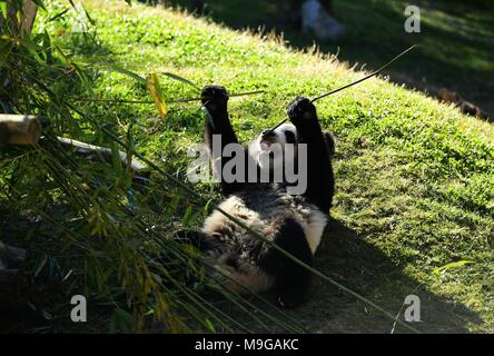 (180326) -- MADRID, March 26, 2018 (Xinhua) -- The baby panda Chulina eats bamboo at the Zoo Aquarium in Madrid, Spain, March 22, 2018. The year of 2018 is the 40th anniversary of the first arrival of Chinese giant pandas to Spain. (Xinhua/Guo Qiuda) (psw) - Stock Photo
