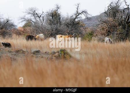 Texas Longhorn cattle on open range grasslands - Stock Photo