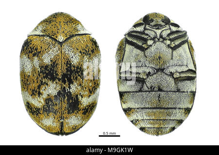 Light micrograph of a varied carpet beetle (Anthrenus verbasci), dorsal and ventral views isolated on white background - Stock Photo