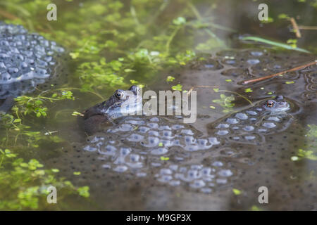 Common frogs Rana temporaria in a garden pond surrounded by frog spawn in spring - Stock Photo