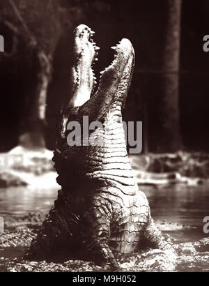 Huge, bellowing alligator rising up out of the water at Homosassa Springs in the 1950s. - Stock Photo
