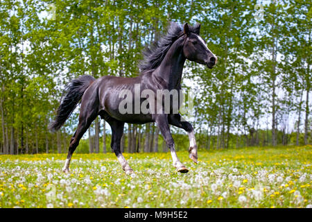 Playful black Arabian Stallion galloping on meadow of yellow flowers - Stock Photo