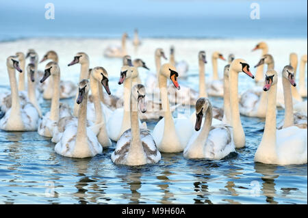 Group of white swans swimming in blue water. Cygnus olor - Stock Photo