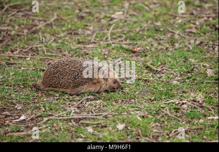 The European hedgehog, also known as the West European hedgehog or common hedgehog, is a hedgehog species found in Europe - Stock Photo