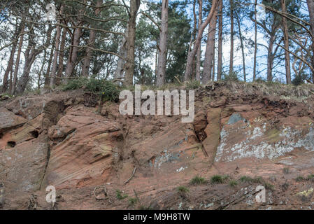 Tree roots showing where the hill has been dug into to make access for a road in Shropshire - Stock Photo