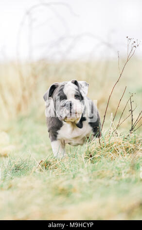 Blue English / British Bulldog puppy out for a walk in the countryside, UK - Stock Photo