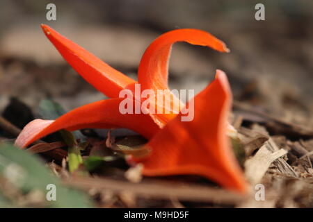 Flame of the forest (Known as Palash in Bangladesh) lying under the tree, It is seen in the spring season. It is orange in color and has no smell. - Stock Photo