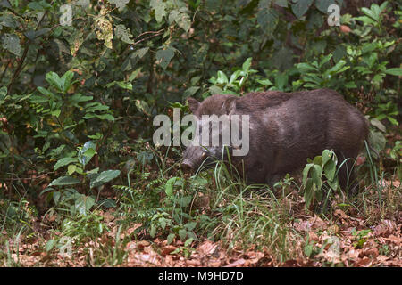 Indian Wild boar, Jim corbett forest, - Stock Photo
