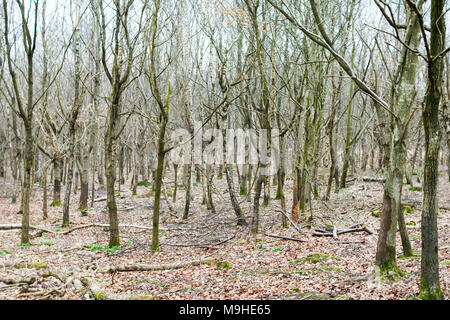 Coppice of silver birch and other young trees in early spring, with deer-damaged trunks and a bed of fallen leaves around them. - Stock Photo