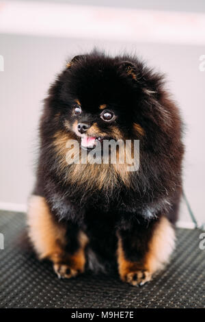 Smiling Black and Red Pomeranian Spitz Small Puppy Dog - Stock Photo