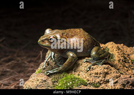 Endemic frog species Boophis goudoti, Mantellidae family, Anjozorobe National Park, Madagascar - Stock Photo