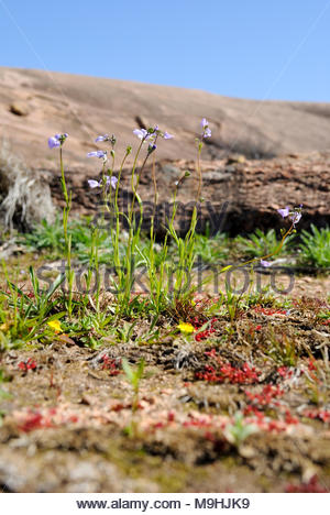 Wildflowers and other plants in a vernal pool at Enchanted Rock State Natural Area in the Texas Hill Country. Vernal Pools are fragile ecosystems. - Stock Photo