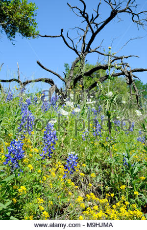 Texas Bluebonnets and other Texas Wildflowers with dead tree and blue sky. Taken at Enchanted Rock State Natural Area west of Austin Texas. - Stock Photo