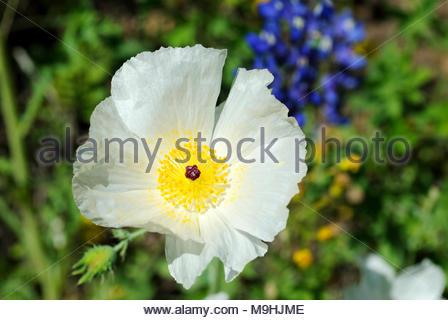 White Prickly Poppy and Bluebonnet in the Texas Hill Country. Prickly Poppy at Enchanted Rock near Fredericksburg, TX. Texas Hill Country Wildflowers - Stock Photo