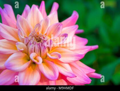 Vibrant pink dahlia in the home garden. - Stock Photo