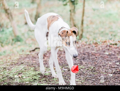 Lurcher dog out on a walk in the countryside, UK - Stock Photo