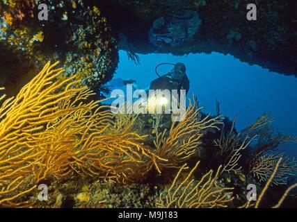 Scuba diver at a overhang with yellow Gorgonian (Eunicella cavolini), Corsica, France, Mediterranean Sea, Europe - Stock Photo