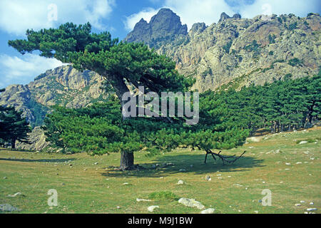 European black pine at Col de Bavella, mountains at middle of Corsica, France, Mediterranean, Europe - Stock Photo