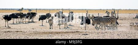 Zebra and common ostrich,Wildlife in Etosha ational Park, Namibia - Stock Photo