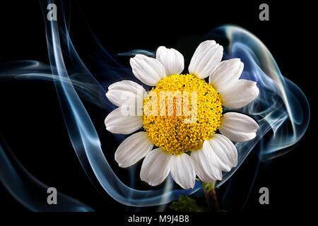 Daisy smoke - Stock Photo