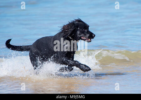 A Labrador Springer Spaniel cross enjoying running in the sea at Fistral beach in Newquay Cornwall. - Stock Photo