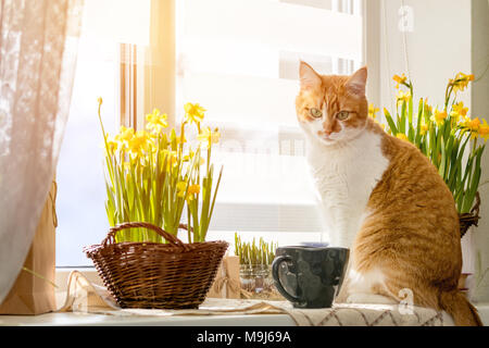 Morning sunlight on the red cat. Cute funny red-white cat on the windowsill with blossom yellow daffodils, close up. - Stock Photo