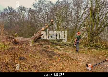 Hainault Forest, Essex, England, UK  - January 9, 2018:  man with chain saw in his hand cutting up a fallen tree. - Stock Photo