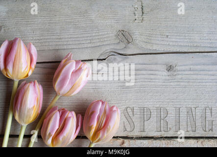close up of blooming tulips on wooden background, with text spring - Stock Photo